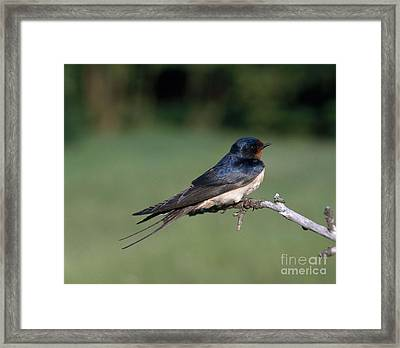 Barn Swallow Framed Print by Hans Reinhard