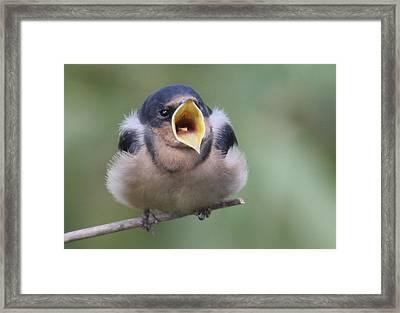 Barn Swallow Framed Print by Joe Sweeney