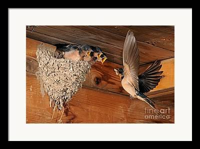 Avesm Passeriformes Framed Prints