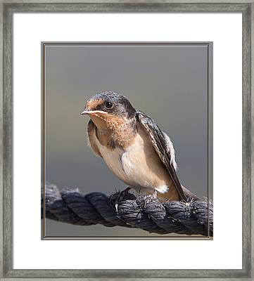 Framed Print featuring the photograph Barn Swallow On Rope I by Patti Deters