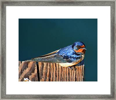 Framed Print featuring the photograph Barn Swallow Perching by Bob and Jan Shriner