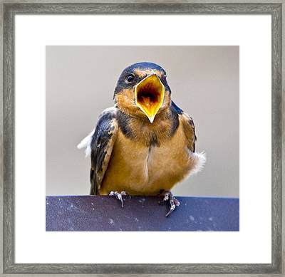 Framed Print featuring the photograph Barn Swallow by Ricky L Jones