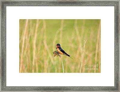 Barn Swallow Framed Print by Suzanne Handel
