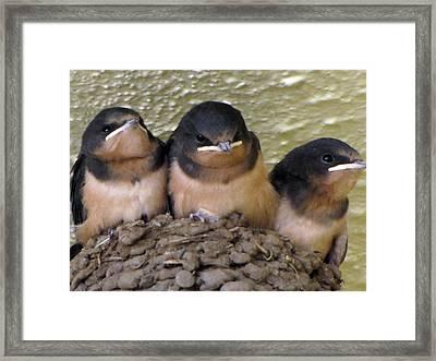 Barn Swallows 1 Framed Print by Tikvah's Hope