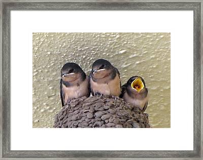 Barn Swallows 2 Framed Print by Tikvah's Hope