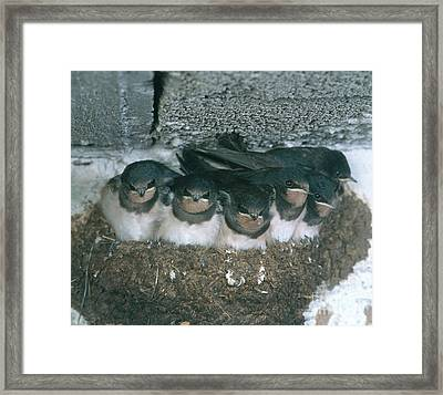Barn Swallows Framed Print by Hans Reinhard