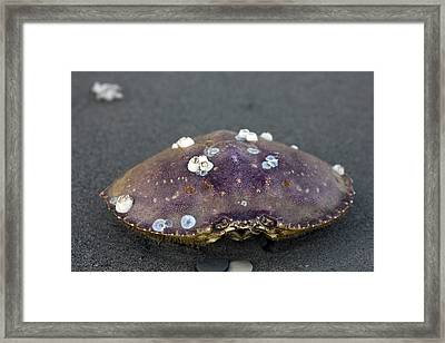 Barnacled Crab Shell Framed Print