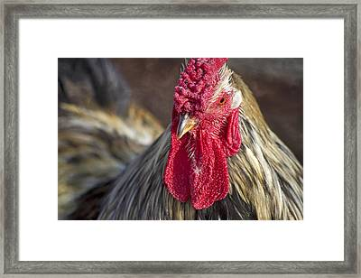 Barnyard King Framed Print by Betsy Knapp