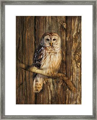 Barred Owl 1 Framed Print by Lori Deiter