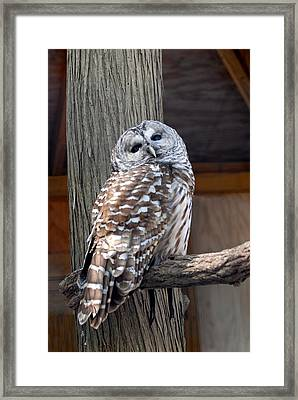 Barred Owl 264 Framed Print by Joyce StJames
