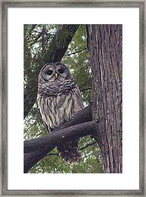 Barred Owl 2a Framed Print