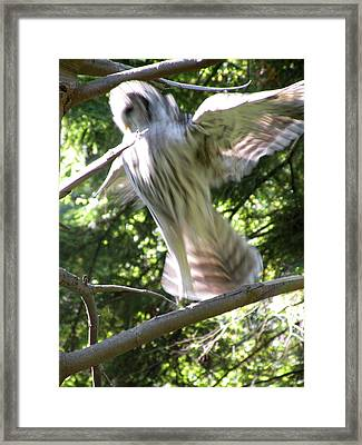 Barred Owl Angelic Liftoff Framed Print by Brian Chase