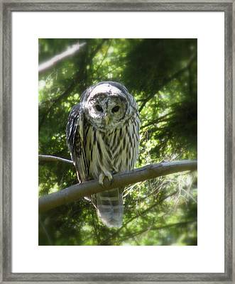 Barred Owl Framed Print by Brian Chase