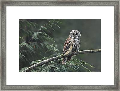 Barred Owl  Framed Print by Daniel Behm