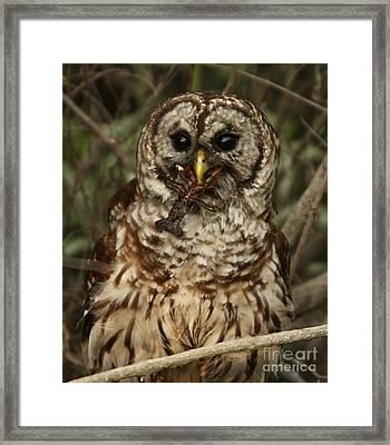Barred Owl Eating Crawfish Framed Print by Kelly Morvant