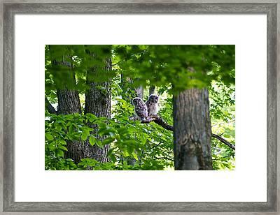 Barred Owl Fledgelings Framed Print by Dan Ferrin