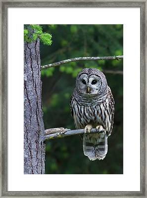 Barred Owl, Hunting At Dusk Framed Print by Ken Archer