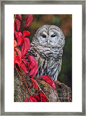 Barred Owl II Framed Print by Todd Bielby