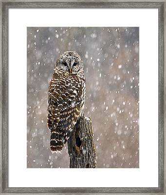 Barred Owl In A New England Snow Storm Framed Print by John Vose