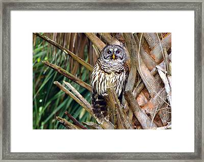 Barred Owl In Palm Tree Framed Print