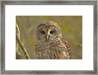 Barred Owl Looking At You Framed Print by Nancy Landry