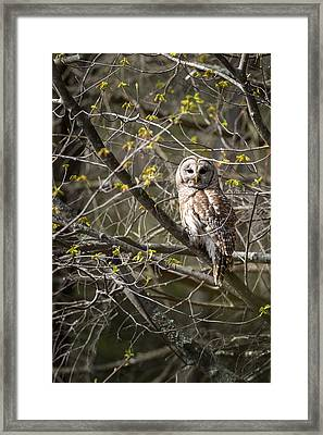 Barred Owl Portrait Framed Print by Bill Wakeley