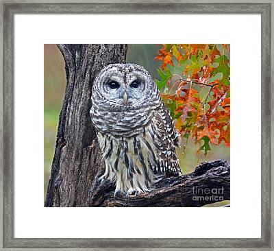 Barred Owl Framed Print