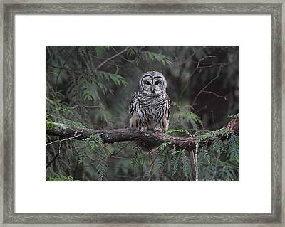 Barred Owl Stare Down Framed Print by Daniel Behm