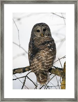Barred Owl Stare Framed Print by Mike Dawson