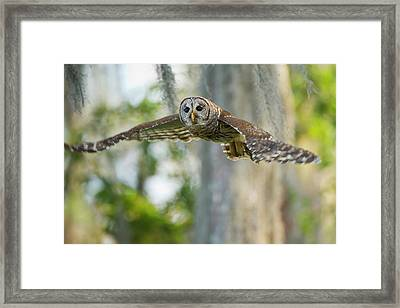 Barred Owl (strix Varia Framed Print by Larry Ditto