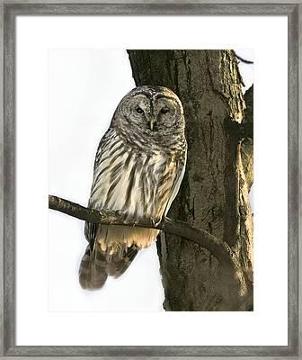 Barred Owl  Framed Print by Timothy McIntyre