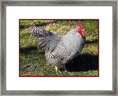 Barred Rock Rooster Framed Print