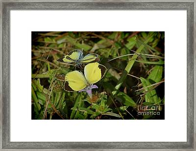 Barred Yellow Butterflies Framed Print by Lynda Dawson-Youngclaus