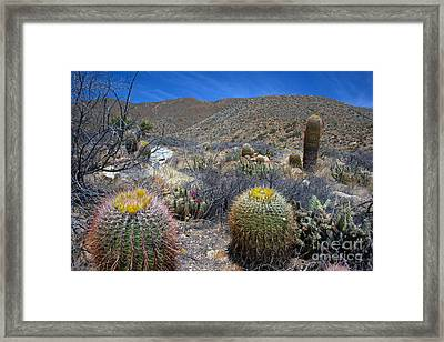 Barrel Cacti In Bloom Framed Print by Jane Axman