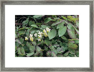 Barrenwort (epimedium X Versicolor) Framed Print by Sally Mccrae Kuyper/science Photo Library