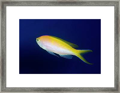 Bartlett's Anthias Framed Print