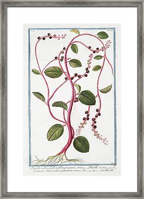 Basella Rubra Framed Print