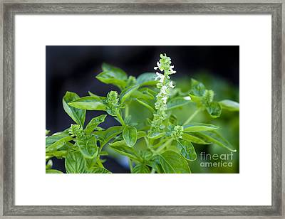 Basil With White Flowers Ready For Culinary Use Framed Print by David Millenheft