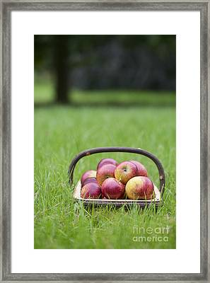 Basket Of Apples Framed Print by Tim Gainey