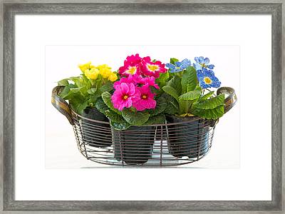 Basket Of Primroses Framed Print