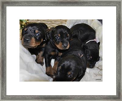 Basket Of Puppies Framed Print by Sue Rosen