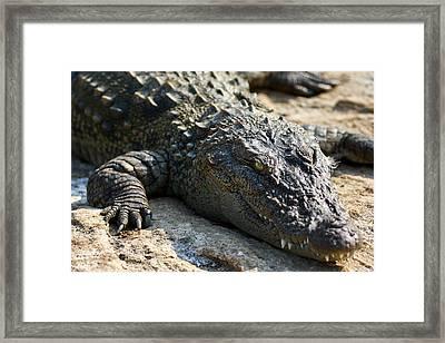 Basking Crocodile Framed Print by Nila Newsom