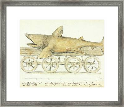 Basking Shark Framed Print by Natural History Museum, London