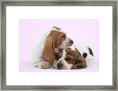 Basset Hound Puppies Framed Print by Jean-Michel Labat