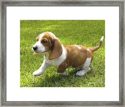 Basset Hound Puppy Framed Print