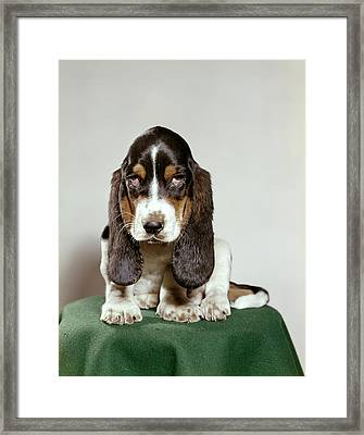 Basset Hound Puppy With Soulful Sad Framed Print
