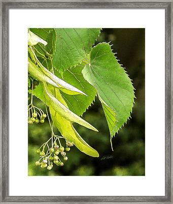 Basswood Berries Framed Print by Bill Kesler