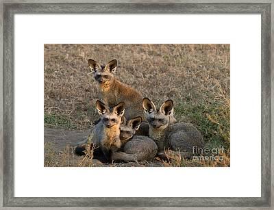 Bat-eared Foxes Framed Print by Chris Scroggins