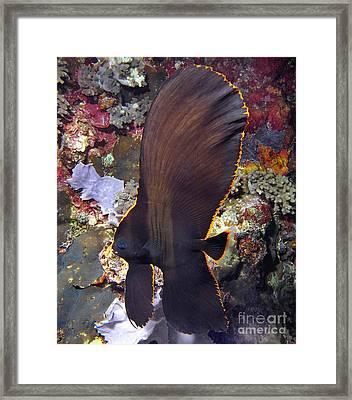 Bat Fish Framed Print by Sergey Lukashin