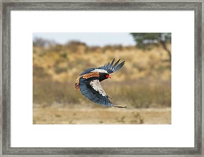 Bateleur Eagle In Flight Framed Print by Tony Camacho